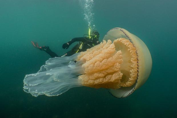 Lizzie Daly swimming alongside the barrel jellyfish