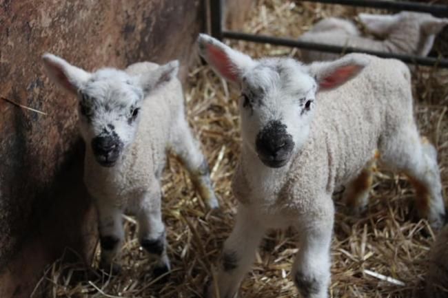 Twelve lambs and a ewe were stolen from a farm off the A82 between Arden and Luss between January 21 and 26
