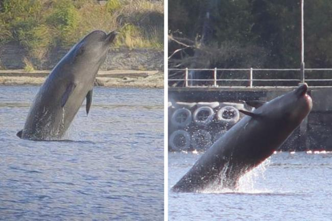 A pod of northern bottlenose whales have been in the Gareloch for more than a week (Photo credits: Andy Pinch/Little Rahane Farm)