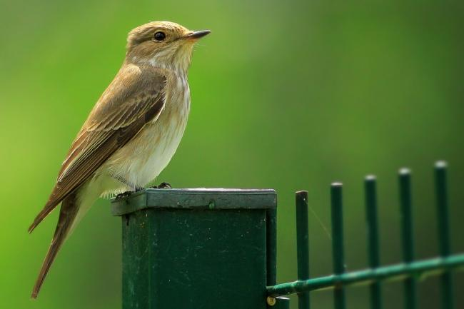 Spotted flycatchers are faring better in Scotland than England