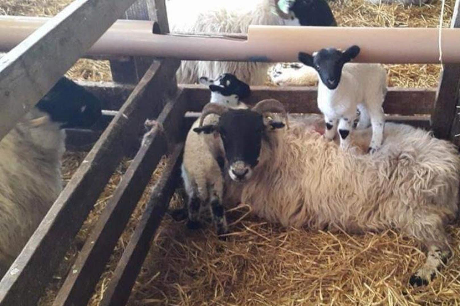 The lambing after school club is a unique experience